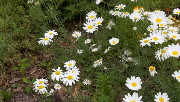 Make your own pyrethrum 013%20Pyrethrum%20flowers%20PENNY%20WOODWARD%20copy