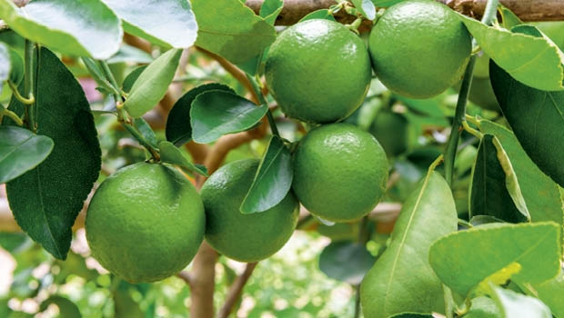 Spring is the best time to plant lime trees.