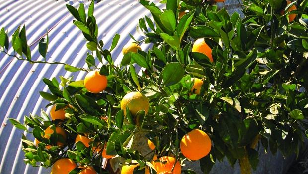Young Maltese Blood Orange