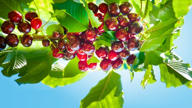 Cherries can be a challenge to grow, but worth the effort.