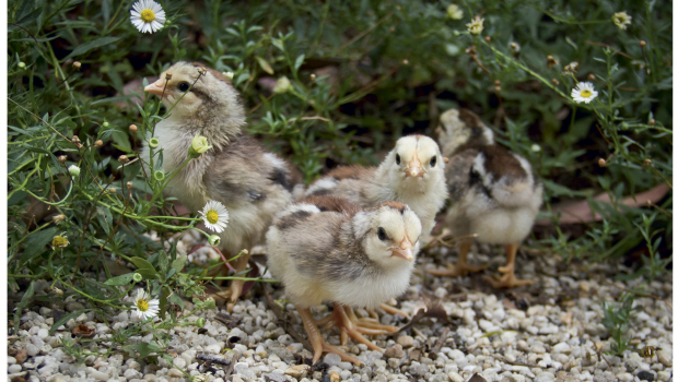 Clear your yard of any possible hazards for chicks.