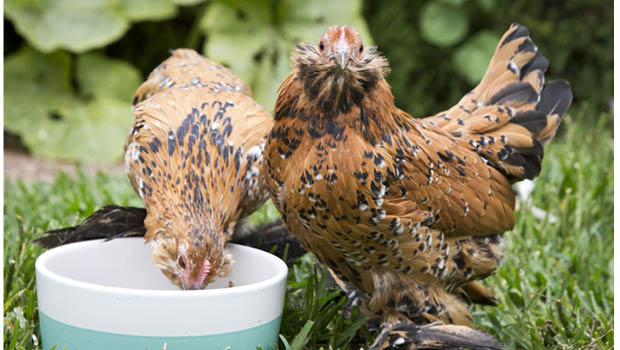 You can make your own chook mash.