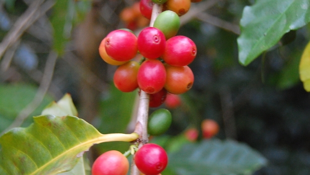 Coffee cherries ripe for picking