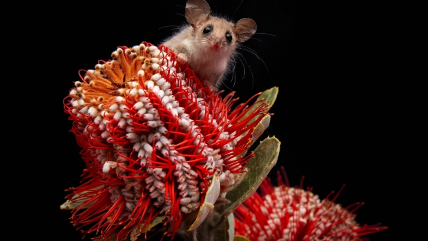 The dramatic decline in the bogong moth population has had a deleterious impact on the endangered pygmy possum.