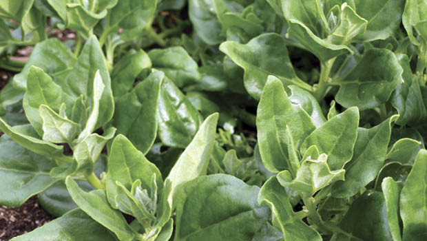 New Zealand spinach is a disease-resistant perennial also native to Australia