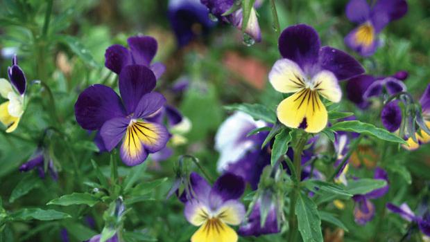 Heartsease (Viola tricolour) has a long history of use in herbal medicine.