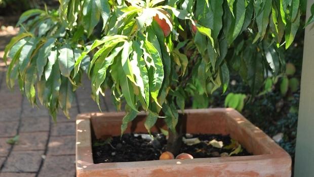 Potted Trixzie – a miniature fruit tree  of Pixzie cultivar