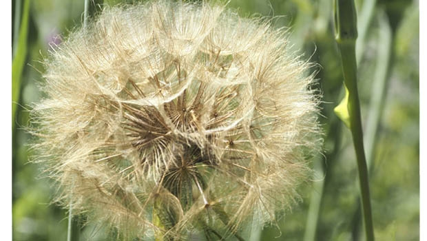 Salsify seed will be blown by the wind.