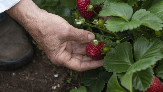 Strawberries are high on the list of the most chemically contaminated.