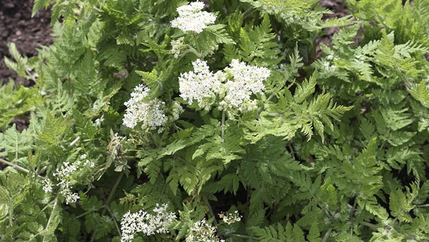 Sweet cicely has a mild sugary aniseed flavour.