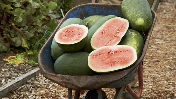 Watermelon crop