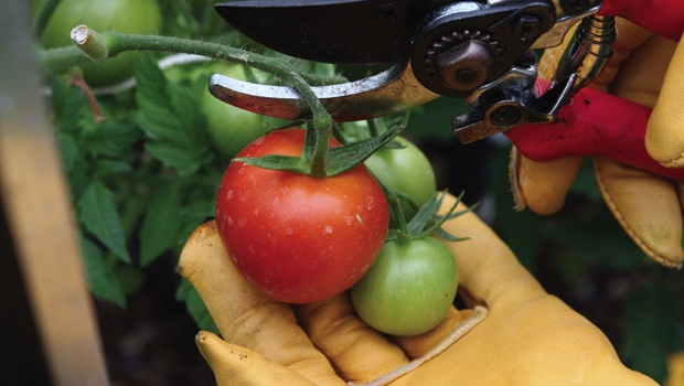 Sterilise your garden tools when moving between different crops to prevent transfer of disease.