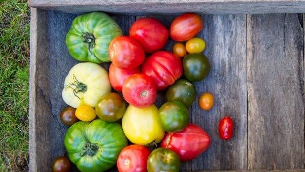 Tomato pests and diseases | Organic Gardener Magazine Australia