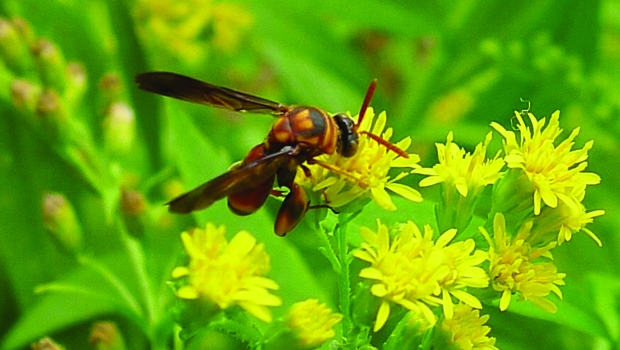 Leucospis wasp drinking nectar from goldenrod