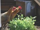 Jane and Lizzie feeding on microgreens