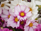 A mix of 'Picote' and 'Purity' cosmos flowers.