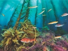 kelp forests are havens for sea life