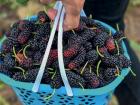 Paul West loved picking mulberries as a kid.