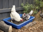 Chooks love a dust bath.