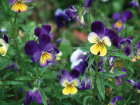 Heartsease (Viola tricolour) has a long history of use in herbal medicine.
