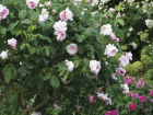 'Souvenir de la Malmaison' is a Bourbon rose created in1843 by Lyon-based rose breeder, Jean Beluze.