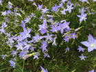 Tufted bluebell Wahlenbergia communis