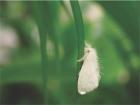 white fly