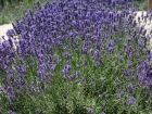 English lavender 'Edgerton Blue'
