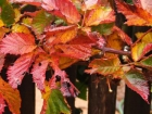 Autumn Blackberry Foliage