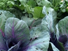 Autumn Brassicas