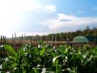 Backlit Sweetcorn Plants