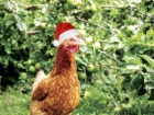 Chooks at Christmas time