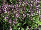 Cinnamon basil flowering profusely