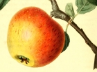 Heirloom Apple Illustration