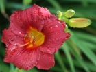 Red daylily flower