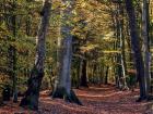 German beech trees