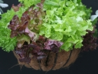 Lettuces in hanging basket