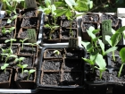 Seeds sown in coir pots