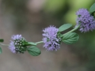 Sweetly scented pennyroyal