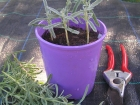 Propagate lavendar now after the wet, humid summer