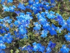 The electric hued blue native, Lechenaultia biloba.