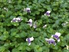 Native violets are evergreen perennial ground covers that tolerate some light foot traffic.
