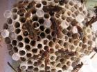 Paper wasps's nest