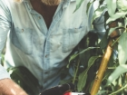 Phil Dudman pruning a peach tree