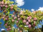 Organic 'Santa Rosa' plums.