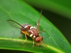 Qld Fruit Fly