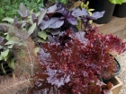 Bronze, purple and red-leafed herbs and vegies