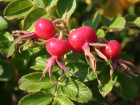 Rosa rugosa rose hips