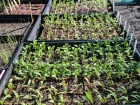 Vegie Seedlings