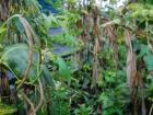 Beans corn